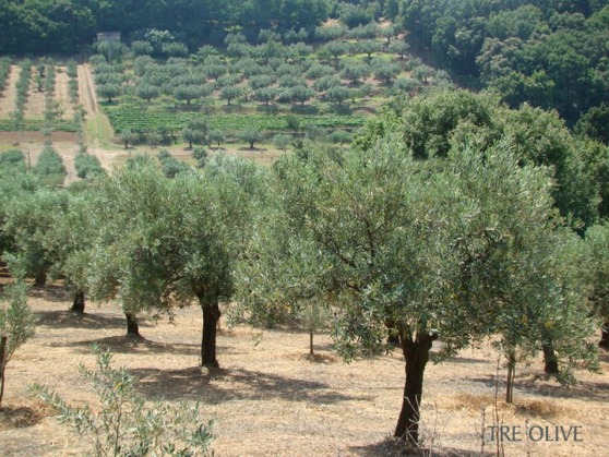 Tre Olive groves