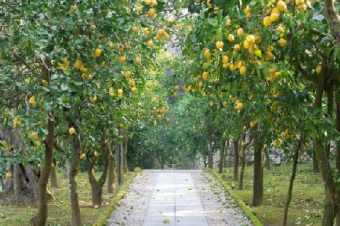 Villa Oriana Relais in Sorrento lemon path