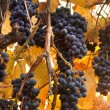 Tuscan grapes fall harvest